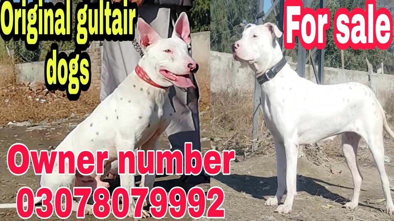 Kohati Gultair Dogs For Sale Youtube