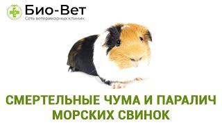 Смертельные чума и паралич морских свинок. Ветеринарная клиника Био-Вет.