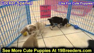 Cocker Spaniel, Puppies, For, Sale, In, Washington Dc, Fort Totten, Mclean Gardens, Wesley Heights,