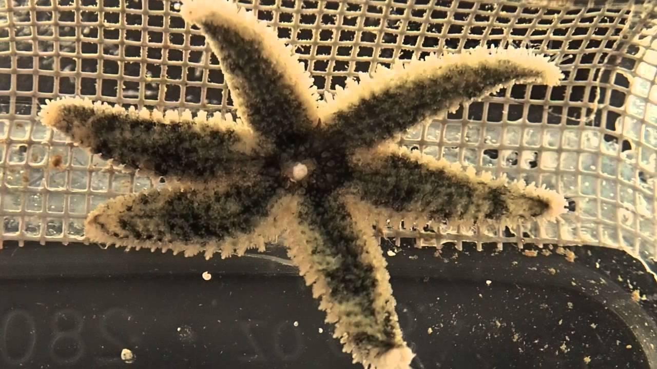 sea star aboral diagram [ 1280 x 720 Pixel ]