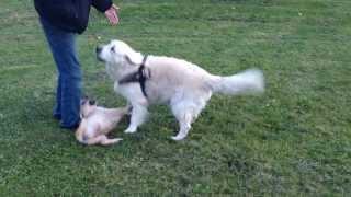 Puppy and adult Golden retrievers having fun thumbnail