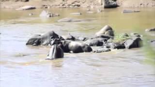 Hippo Saves Buffalo From Crocodile