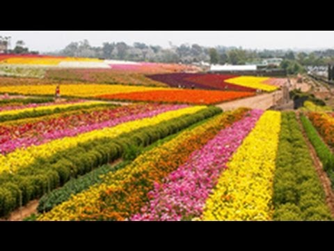 The Flower Fields-Carlsbad california-2014, Nhân's Flycam
