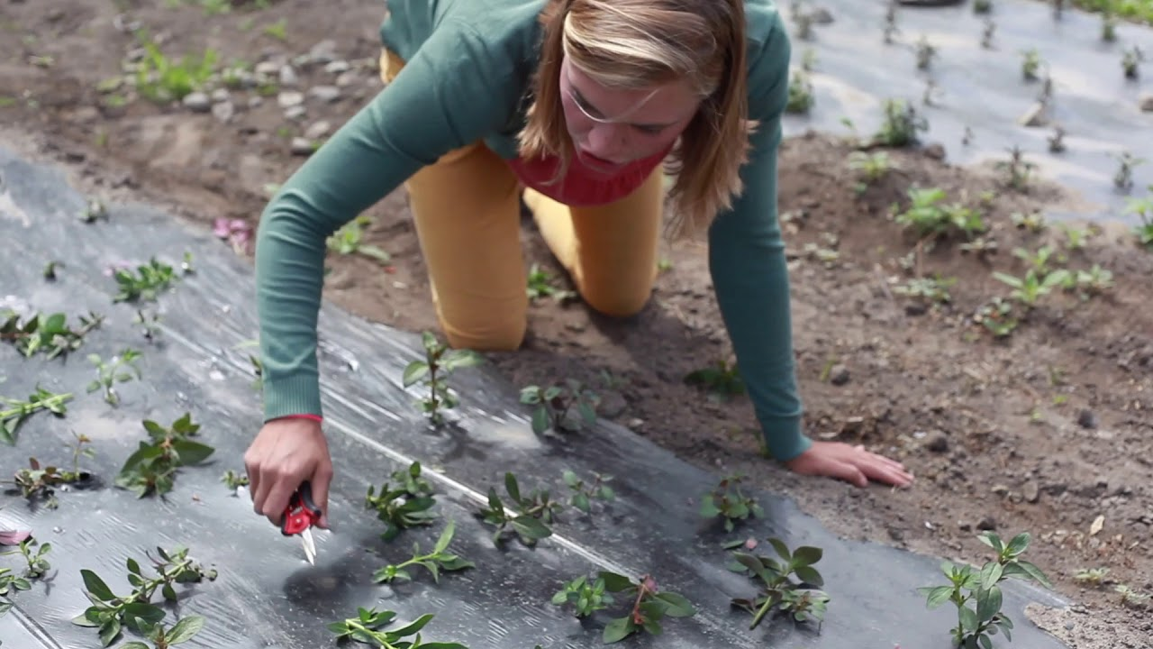 How To Triple Your Flower Harvest With One Easy Snip