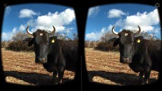 Vacas en realidad virtual | Episodio #24