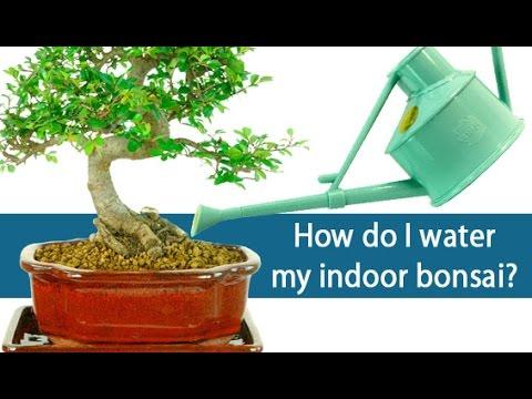 How to feed my bonsai tree