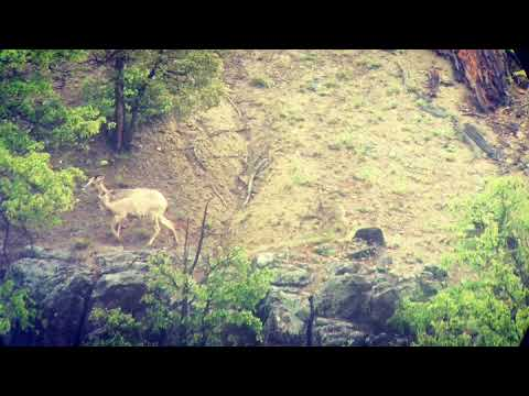 Bighorn Sheep and Babies on Hill in Yellowstone