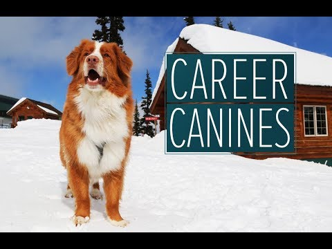 Search and rescue dogs ready to find buried avalanche victims  - 'Career Canines' S1 E2