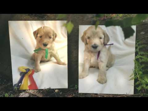 Labradoodle Puppy Breeder shares her cute puppies!