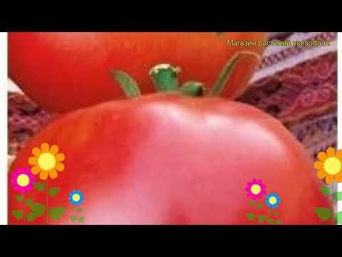 Томат обыкновенный Марфушечка-душечка. Краткий обзор, описание характеристик, где купить семена