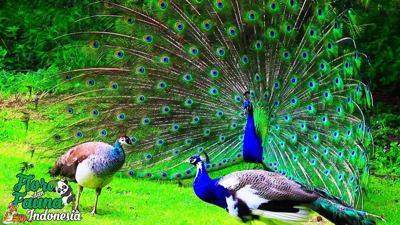 Mengenal Lebih Dekat Burung Merak India Yang Cantik Peafowl Youtube