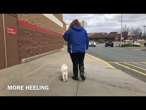 Albany Dog Trainers | Latham Dog Trainers | 1 Year Old Coton de Tulear, Groot