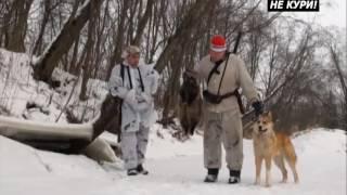 Охота на енотовидную собаку с Западно-Сибирской Лайкой