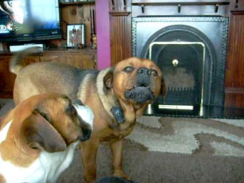Rottweiler X Mastiff Youtube