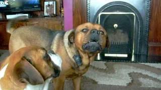 Rottweiler X Mastiff