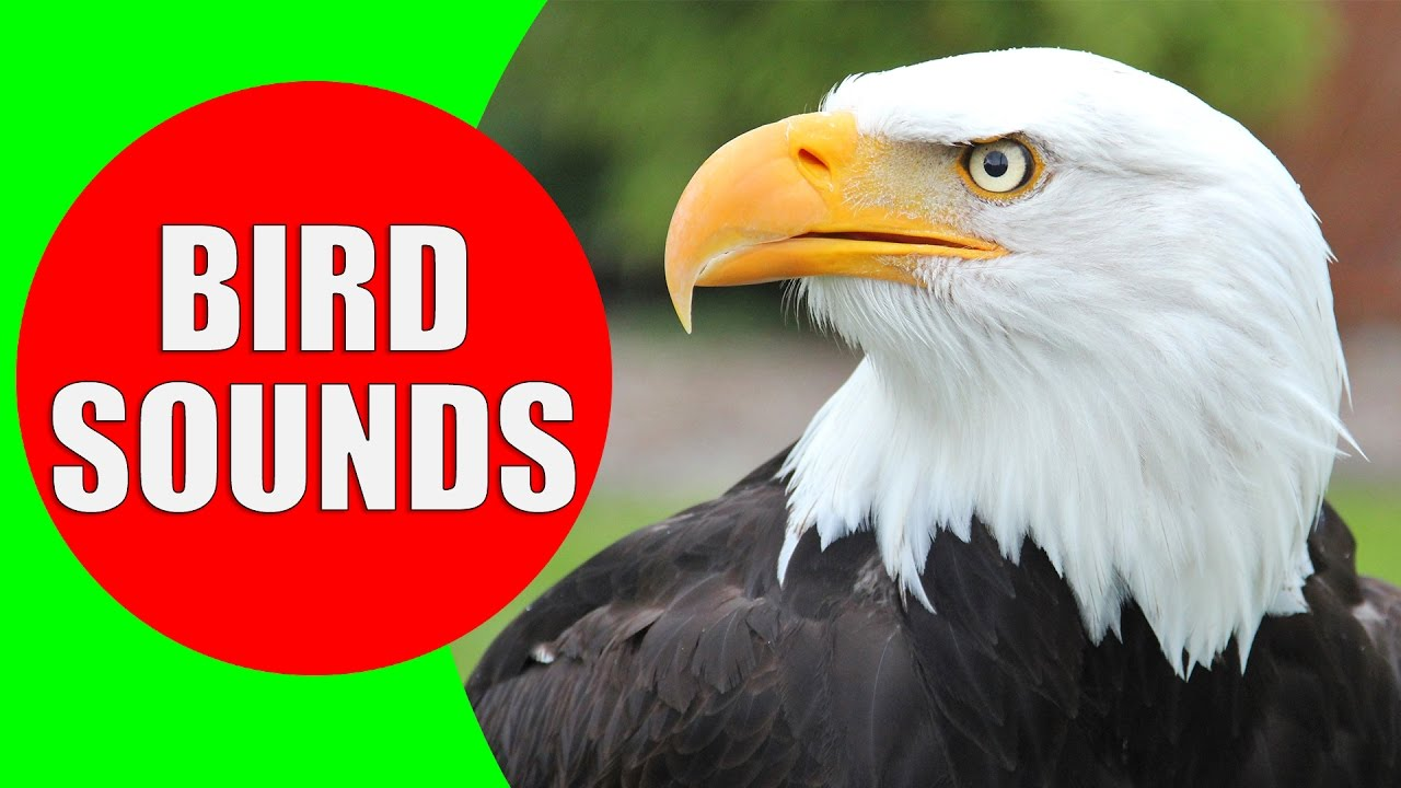 Raptor Bird Of Prey Bird Sounds For Kids Part 2 Children Learn Birds Of Prey Raptors Youtube