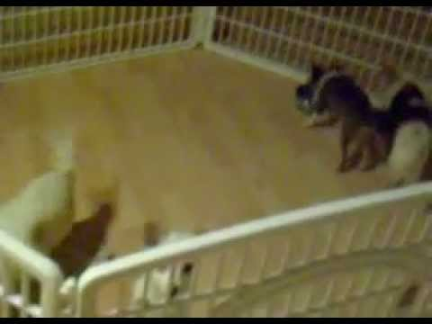 Chihuahuas trained to come in with the sound of the bell