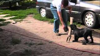 Cane Corso - Puppy Training