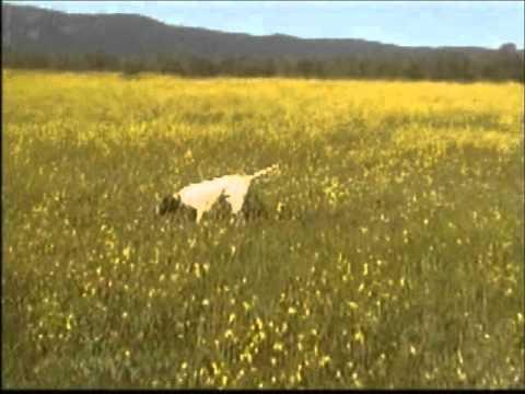 pointer av köpeği fermaları…
