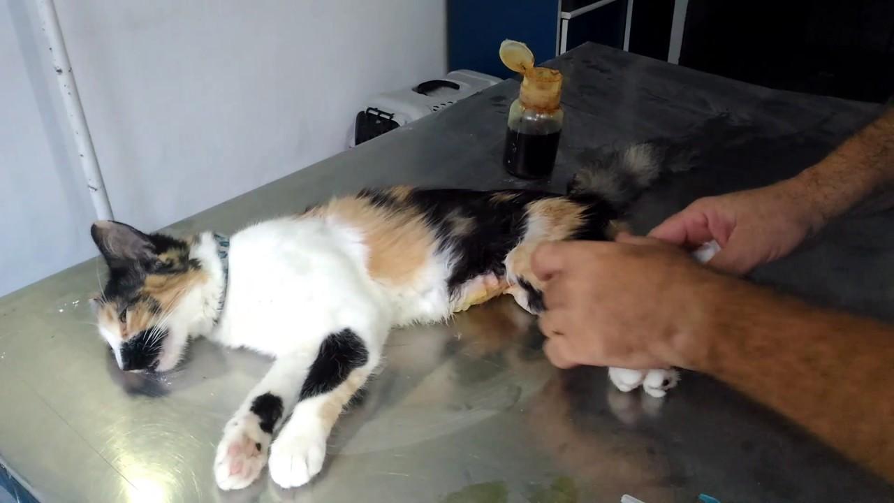 vacuna intramuscular en gatos