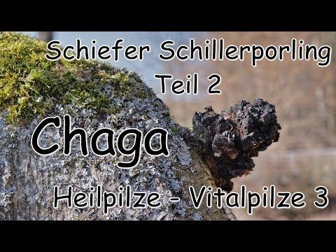 Chaga-Pilze Teil 2 - Heilpilze - Vitalpilze 3 - Chaga an Erle und die Hauptfruchtform