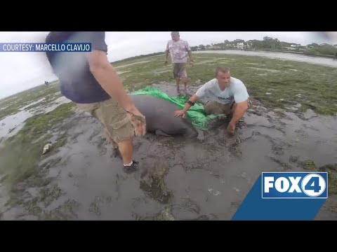 Manatees rescued after being stranded by Hurricane Irma