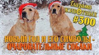 Глазами животных #300. Новый год и его символы - очаровательные собаки