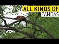 All Kinds of Pandas || JukinVideo
