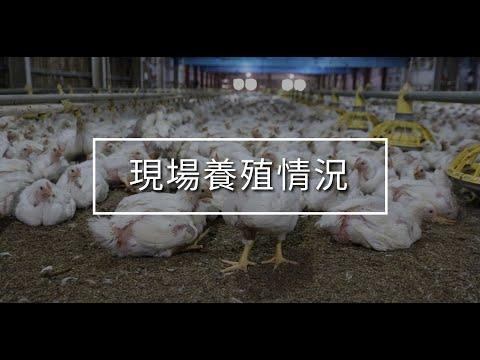 肉雞養殖:飲水益生菌有助雞隻畜舍臭味與墊料之改善