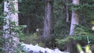 Colorado Mountain Goat Hunting Adventure