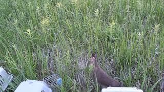 Эпический выпуск толпы зайцев... в траву?