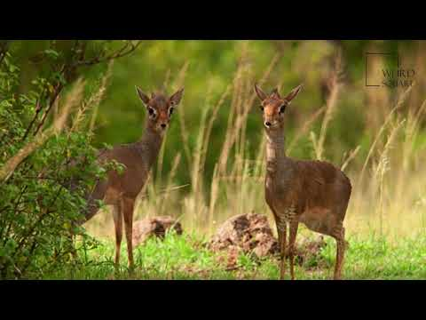 Interesting facts about kirks dik dik  weird square