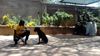 Dog Training by Kenya Canine Kennels (www.kenyacaninekennels.co.ke)