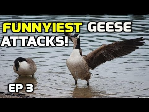 Funnyiest Aggressive Geese attacks (complation) - 2018