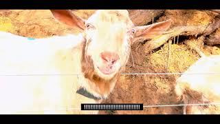 칠곡 양떼목장 3분 관광