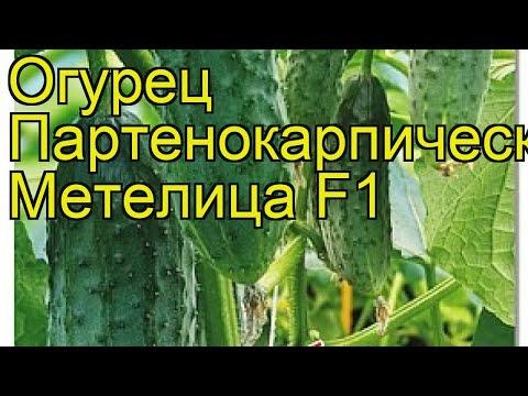 Огурец партенокарпический Метелица F1. Краткий обзор, описание cucumis sativus Metelitca F1 | партенокарпический | описание | метелица | огурец | обзор | sativus | cucumis | f1 | c