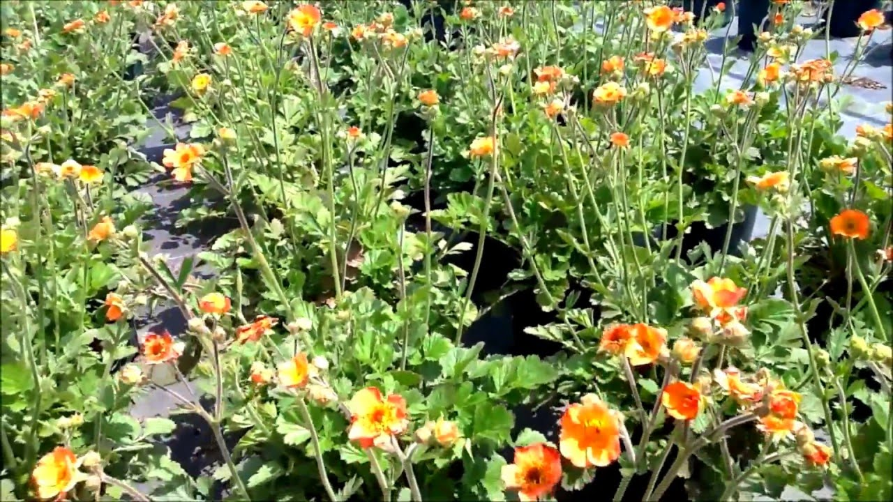 Best perennials geum totally tangerine aven youtube best perennials geum totally tangerine aven mightylinksfo