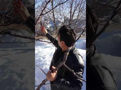 Ağaç budama- Yarı Bodur Elma Ağacı -Karaman Üzümlü Köyü