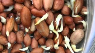 видео Как вырастить арахис в домашних условиях на огороде?