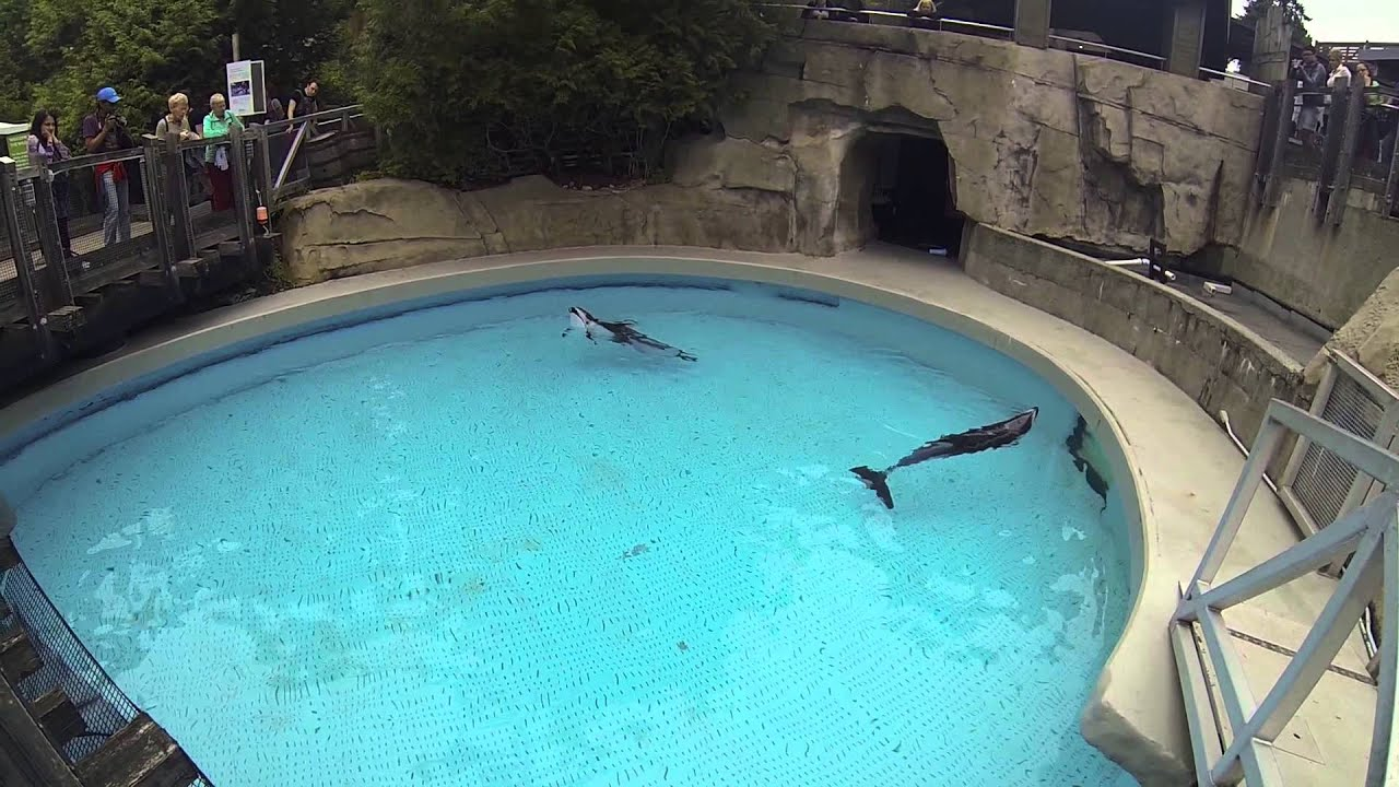 Pacific white sided dolphins show stereotypic behavior for Pool show usa