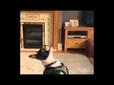 Funny Video Dog Fail To Catch (Slowmotion)