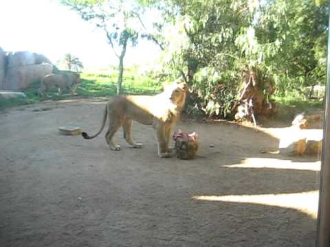 Lions On The Loose