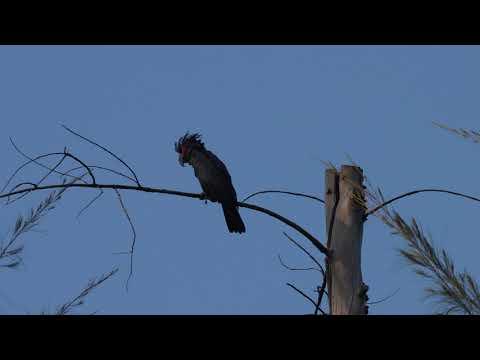 Palm Cockatoo (Probosciger aterrimus) near Fort Road Carpark