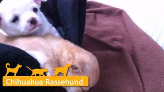 Chihuahua Welpen In Ratingen