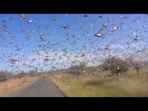 Watch locusts swarm in Madagascar
