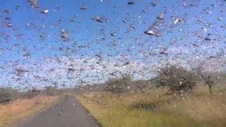 Video Watch locusts swarm in Madagascar download MP3, 3GP, MP4, WEBM, AVI, FLV Juli 2018