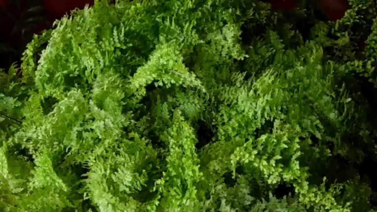 Mini Samambaia  Identificação Visual da Planta  YouTube