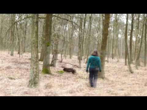 Field Spaniel mantrailing