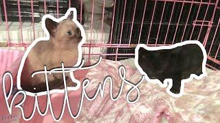 😻 adopting siamese mutt kittens 😻