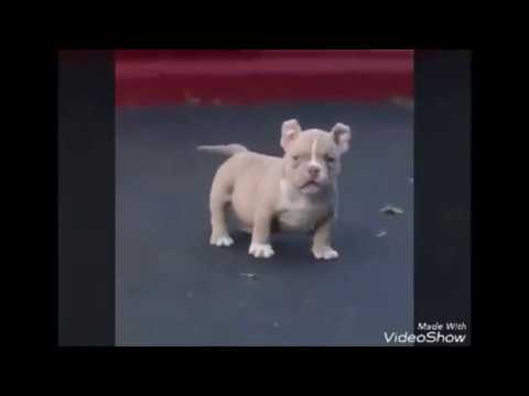 Si odias a los pitbull mira este video